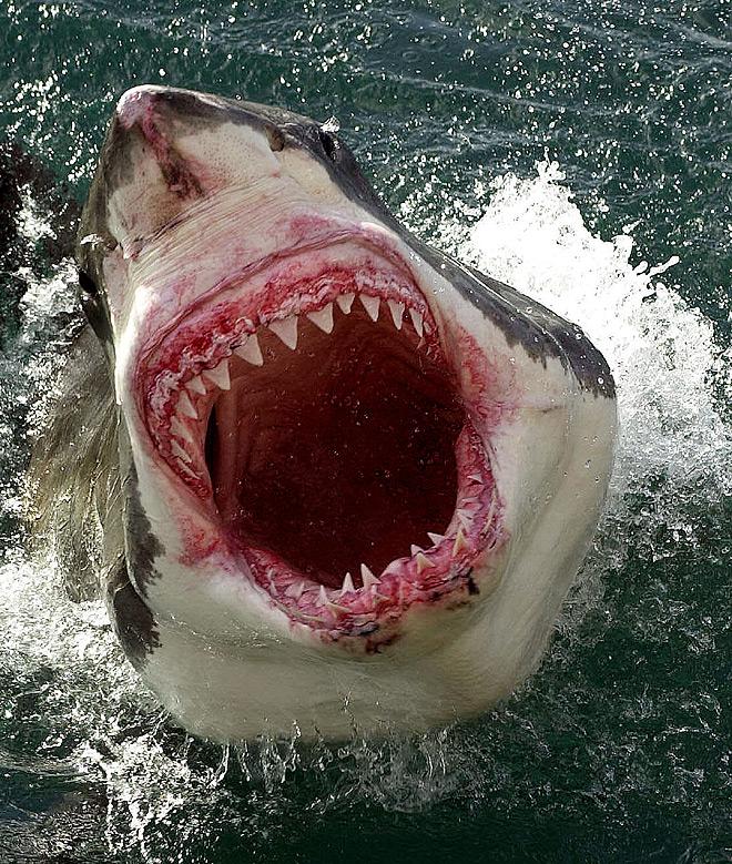 Shark tooth  Wikipedia