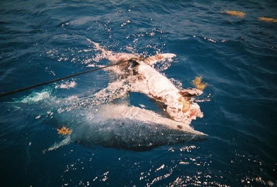 Акула-мако занимает 4 место по уровню опасности для человека (после...