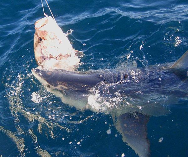 Isurus Oxyrinchus.  Shortfin Mako Shark.