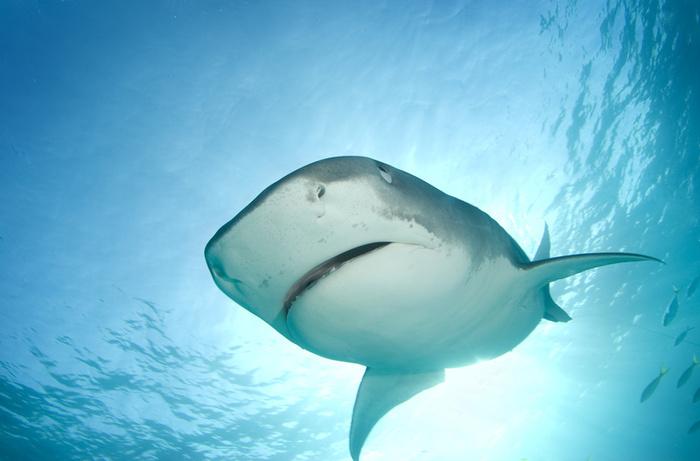 Касатка против белой акулы видео