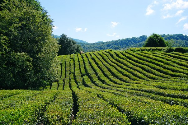 плантации чая на Кавказе