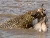 crocodile-attack
