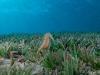 Thorny Sea Horse