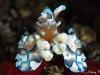 Western harlequin shrimp