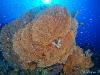Sea Fan with Anthias