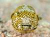 Juvenile Starry Pufferfish