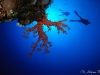 Dendronephthya sp. with divers silhouettes