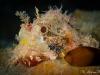 Reef Scorpionfish