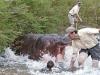 hippo-attack-2