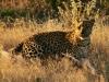 loepard-5