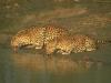 leopard-20