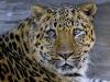 leopard-24