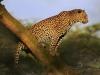 leopard-25