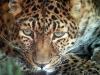 leopard-26