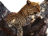 leopard-31