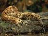 leopard-32