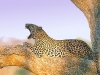 leopard-34