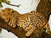 leopard-35