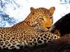 leopard-36