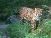 leopard-39