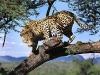 leopard-40