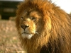lions-10