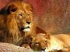 lions-11
