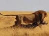lions-12