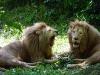 lions-13