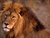 lions-14