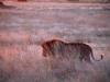 lions-17