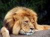 lions-19