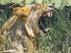 lions-21