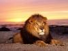 lions-23