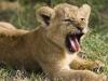 lions-25