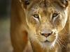lions-26