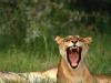 lions-32