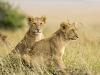 lions-33