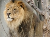 lions-34