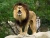 lions-7