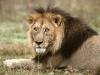 lions-8