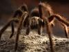 tarantula-4
