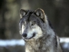 wolf-10