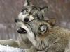 wolf-19