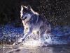 wolf-20
