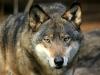 wolf-29