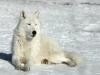 wolf-3