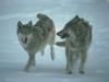 wolf-30