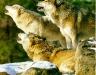 wolf-31