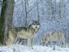 wolf-36